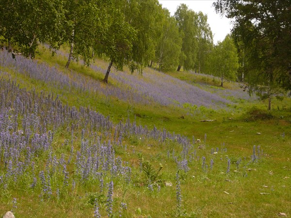 Сиреневая поляна