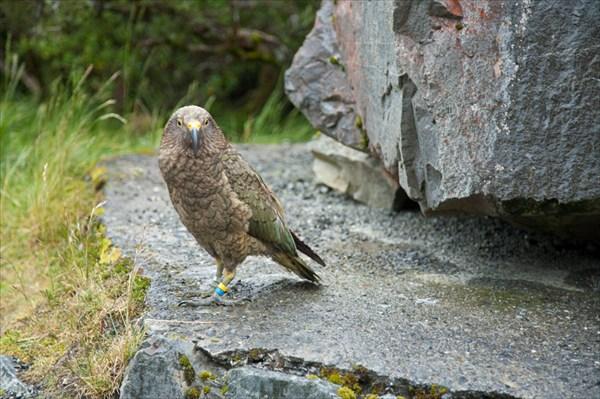 Попугай Кеа! Живет на перевале в поселке Arthurs Pass Village