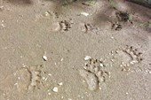 Медвежьи следы