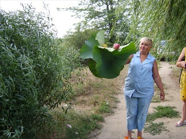 Краснодарский край.Лотосы цветут на степной речушке.