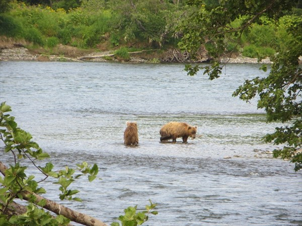 Медвежата на ловле рыбы