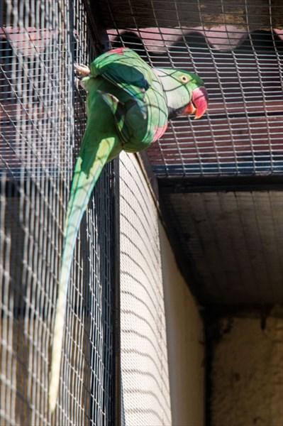 Большой кольчатый (александрийский) попугай