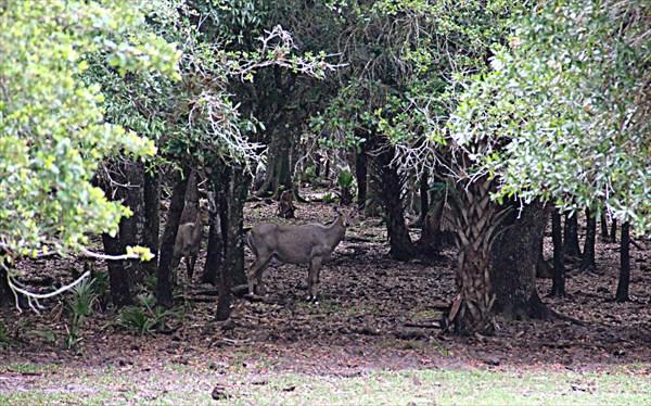 055-Антилопы