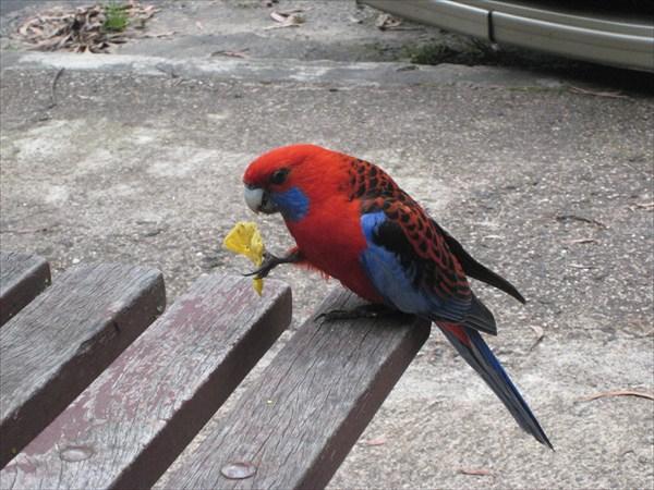 Все австралийские попугаи обожают чипсы