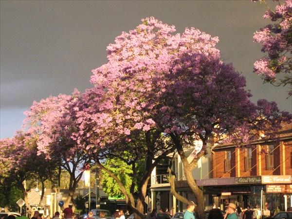 Фиалковое дерево Джакаранда на улицах Камдена