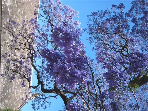 Фиалковое дерево Джакаранда
