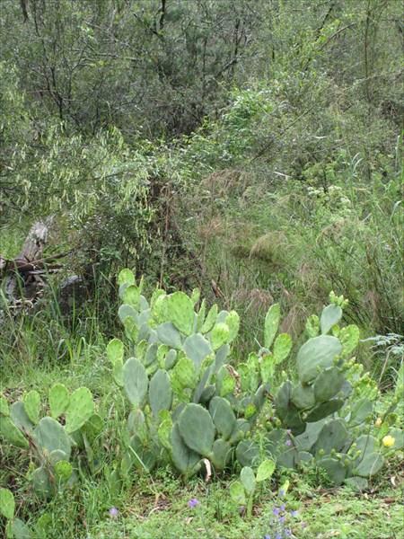 Австралийский кактус