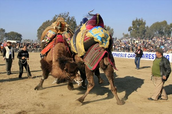 Бой верблюдов на арене стадиона античного Эфеса