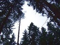 11 черный лес