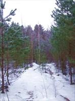 31 молодой лес