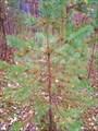 22.Елочка в березовых листях