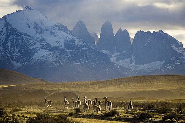 Herd of guanacos in Torres del Paine National Park in Patagonia
