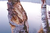 Так работает желна, самый крупный европейский дятел