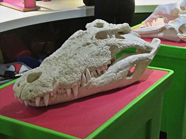 Череп гигантского крокодила.