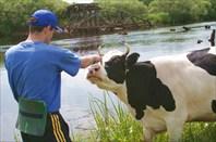Корова дает туристу ценные продукты - тушенку и сгущенку
