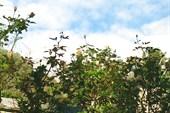 Розы Маршале Нея на фоне Ай-Петри