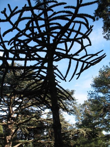 Араукария в Воронцовском парке