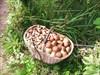 на фото: лукошко с грибами