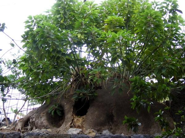 Дерево-пещера