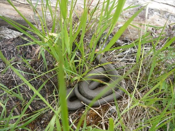 змеи Карелии
