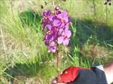 Коровяк фиолетовый. Сем.норичниковые