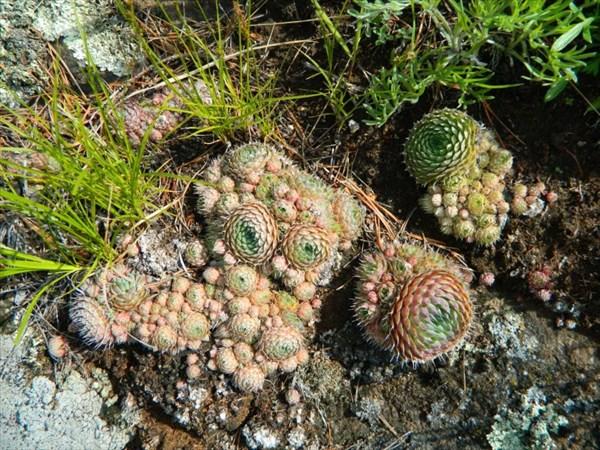 Съедобные кактусы