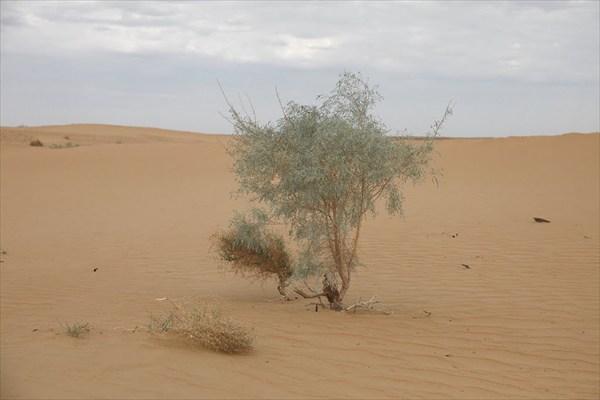 Пустыня Каракумы. Растительность.