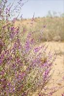 Цветущая пустыня.