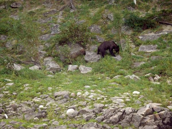 Медведь после купания в Витиме