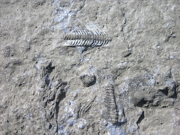 Окаменевшие останки доисторических рыб