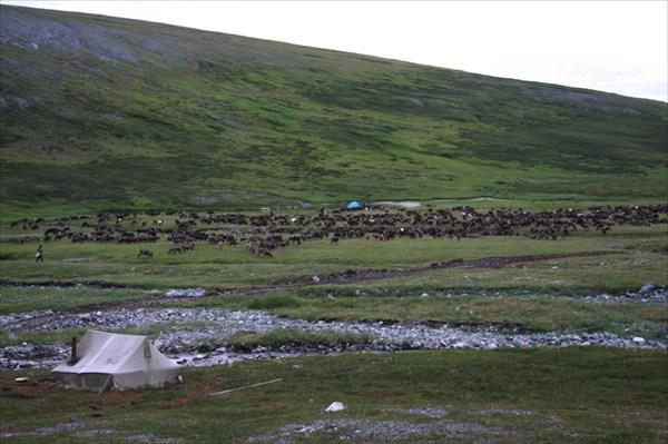 Неделю олени паслись около нашей базы