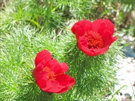 140 лет тому горицвет так же зацвёл на Караби в апреле.