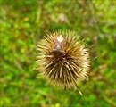 Щитник рыженогий