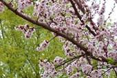 Цветут абрикосы