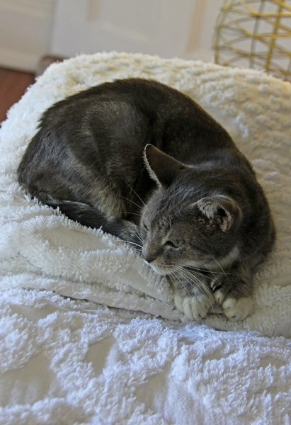 Представитель знаменитых шести-семипалых кошек в музее Хемингуэя