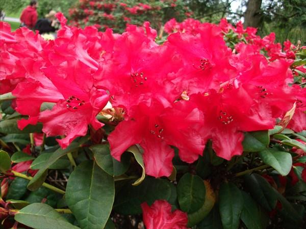 """Rhododendron """"Bad Eilsen"""""""