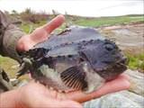 Рыбка пинагор