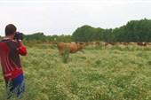Андрюха и коровы