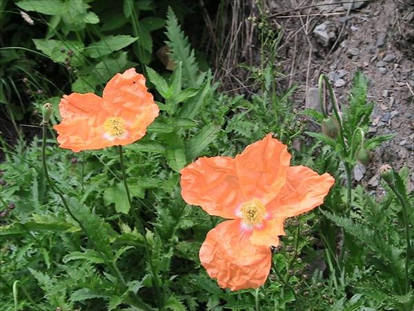 оранжевый мак