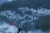 замерзшая травинка