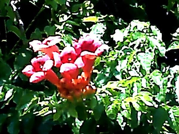 Цветки лианы