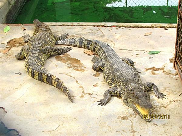 023-Крокодилы