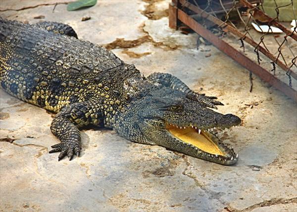 024-Крокодилы
