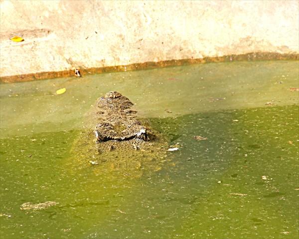 025-Крокодилы