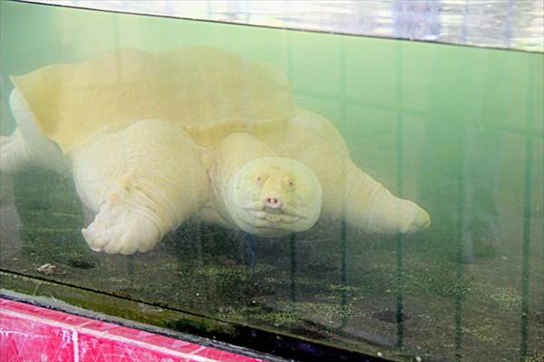 029-Черепаха-альбинос