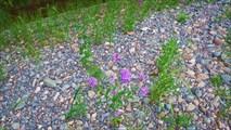 Цветы на гальке