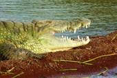Крокодил на берегу озера Чамо