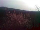 Цветет абрикос