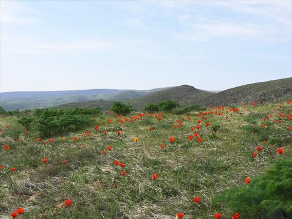 Весеннние цветы на Ачисайском плато, высота около 1000 м