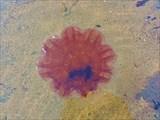 Медуза-цветок.